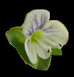 Véronique à feuilles de serpolet