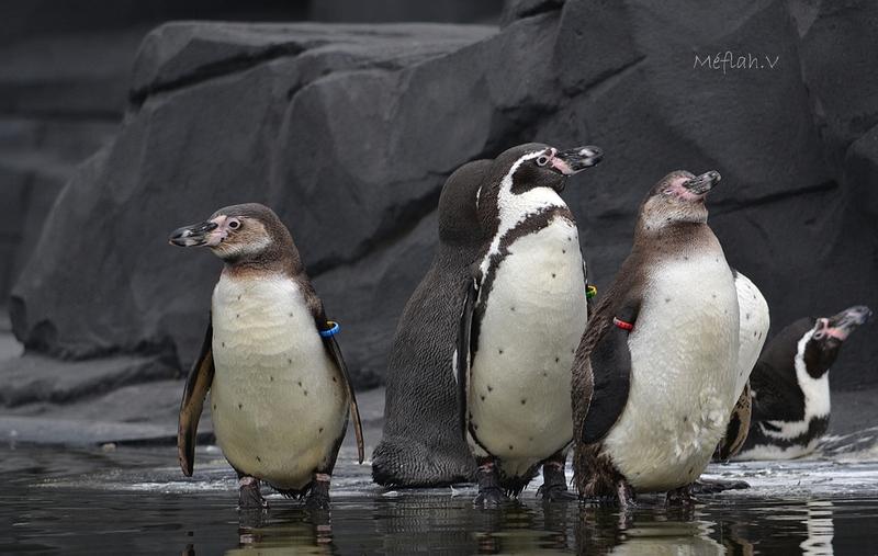 Parc Zoologique de Paris : Le manchot de Humboldt