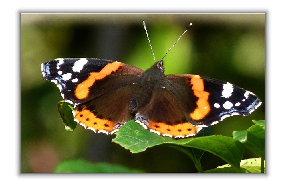 Papillonnant  (3)