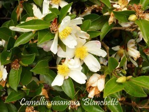 Camellia La Roche Jagu oct2010 001