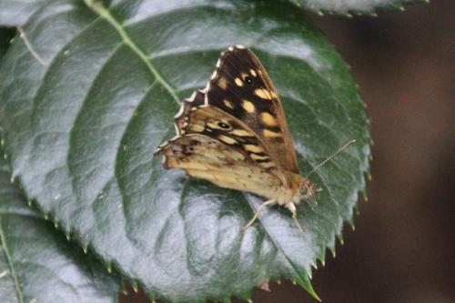 Papillons de la semaine