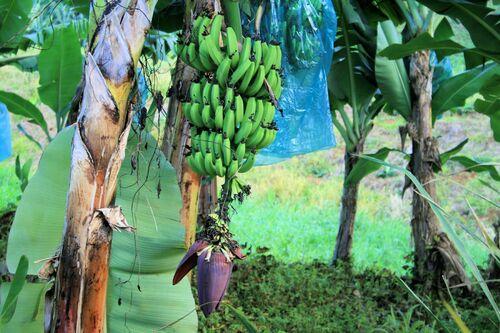 Gwada c'est la banane