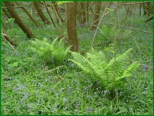 Vertus médicinales des plantes sauvages : Fougère mâle