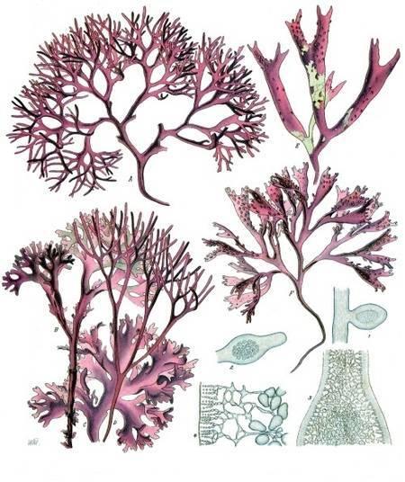 Parmi les découvertes, des espèces du genre Gelidium d'algues rouges, appelées Rhodophytes (ici, une planche illustratrice de Chondrus crispus). © Franz Eugen Köhler, Köhler's Medizinal-Pflanzen, domaine public