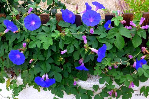 Les jolies fleurs bleues