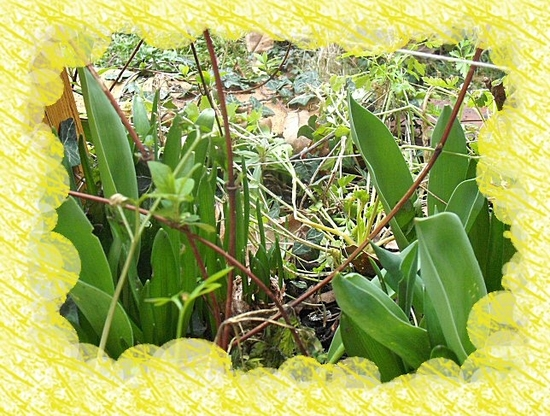 tulipes 2012