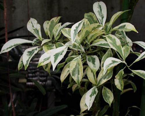 Ficus-sagittata