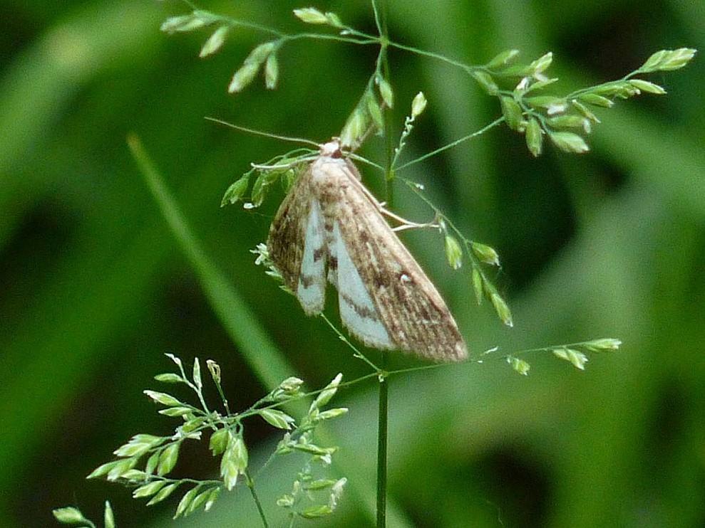 Phigalia-pilosaria-la-phalene-velue.jpg