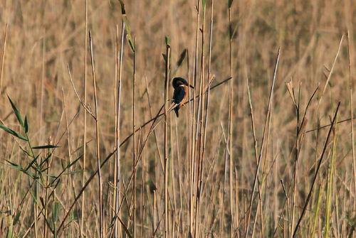 Martin-Pêcheur d'Europe (Common Kingfisher)