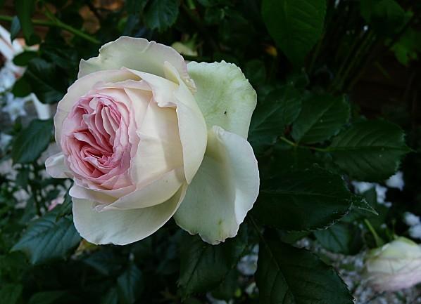 Rose-P.-de-Ronsard--5-06-10--014.jpg