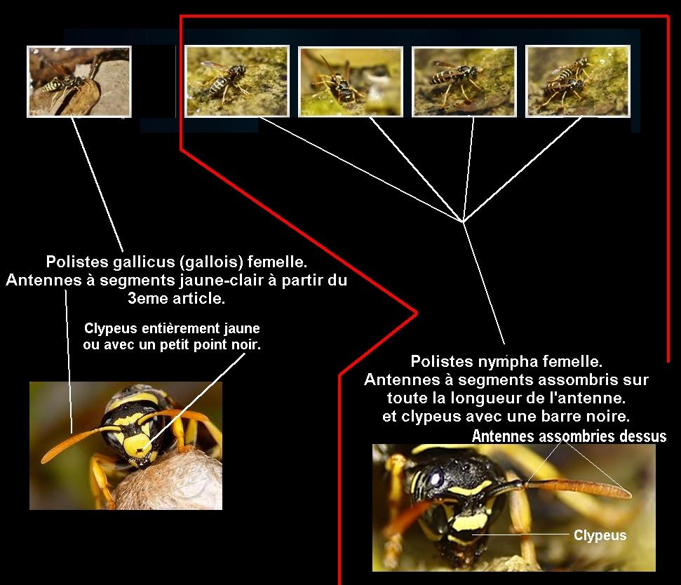 Polistes Gaulois ♀ (Polistes gallicus) & Polistes nympha ♀