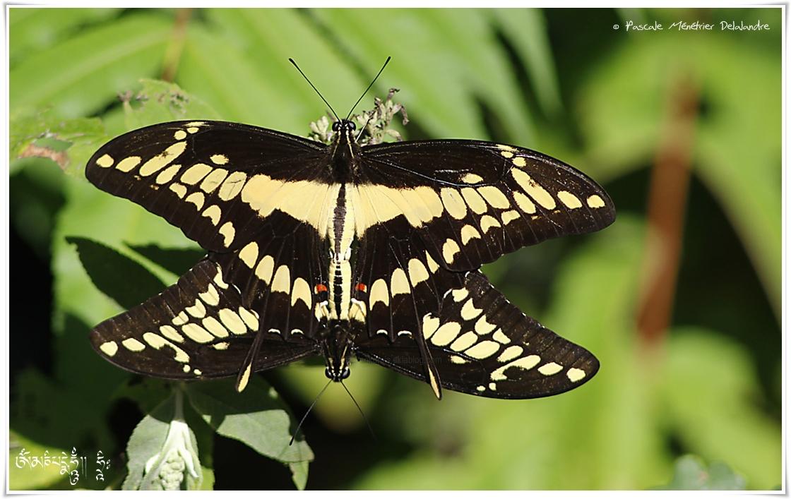 Papilio thoas ou le Grand voilier - Page du roi - Papilionidae