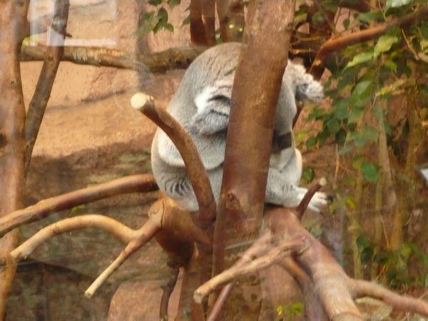 Beauval-26janv13-Koala1.jpg