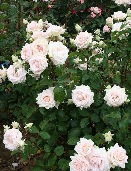 Les Roses de Warren : Sélection 2014