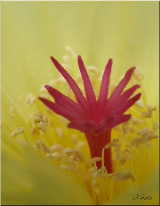 Pistil Notocactus scopa