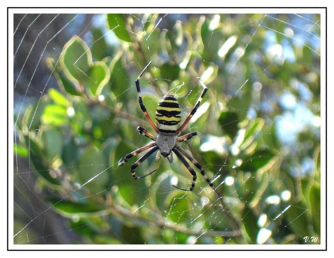 Araignée en Croatie