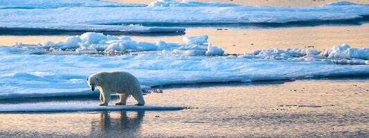 L\'expédition Under the Pole III rencontre un ours blanc en plein passage du Nord-Ouest.