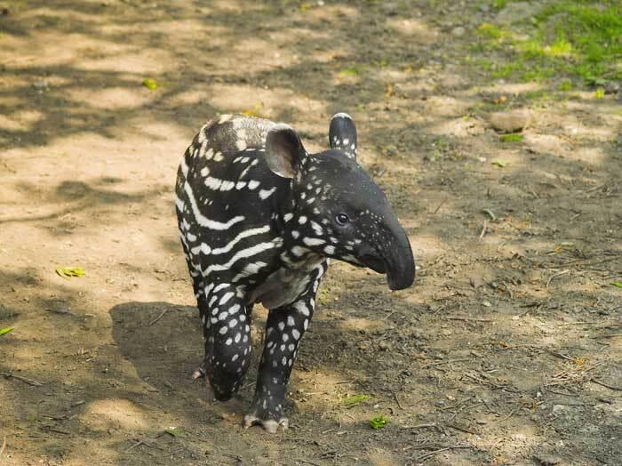 Jeune tapir