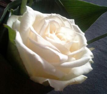 Cornet de rose