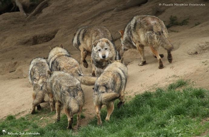 Loup gris (Linnaeus 1758) - Canis lupus