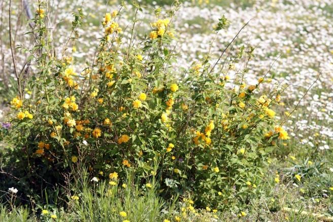 Kerria japonica 2194