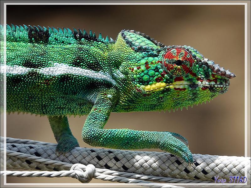 Encore attention : autre sorte de traversée de caméléon ! Nosy Be - Madagascar