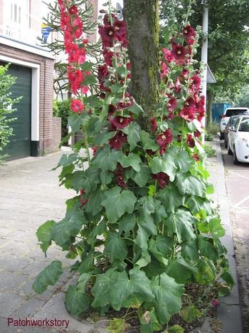 roses trémières 001-001