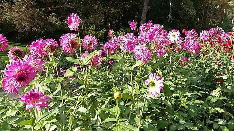 Dahlias au parc Floral