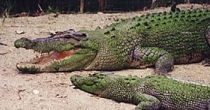 Salties crocodile marin
