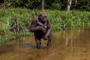Gorille de la rivière Cross Gorilla gorilla diehli