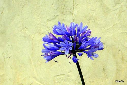 L'agapanthe bleue