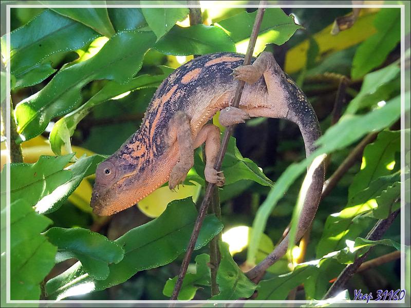 Caméléon panthère femelle, Panther chameleon (Furcifer pardalis) - Nosy Sakatia - Madagascar