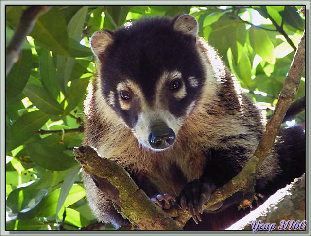 Blog de images-du-pays-des-ours : Images du Pays des Ours (et d'ailleurs ...), Coati à nez blanc (Nasua narica) - Rincon de la Vieja - Costa Rica