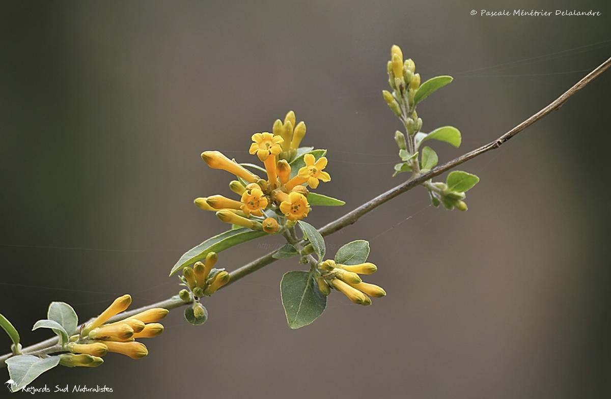 Tabac glauque ou tabac arborescent (Nicotiana glauca)