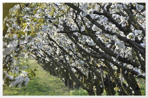 Les cerisiers sont blancs.....