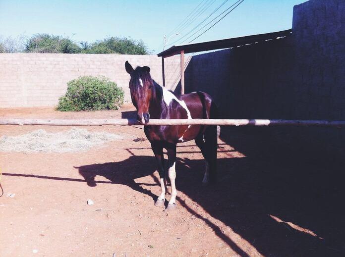 Venezuela : les chevaux