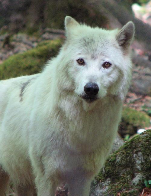 Le loup des neiges