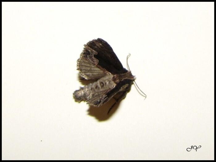 Dypterygia scabriuscula