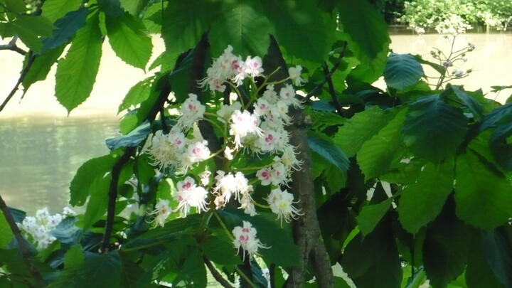 fleur de marronniers.