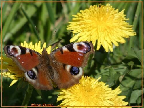 les papillons de pierre.denis