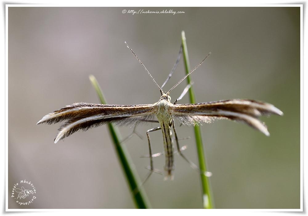 Ptérophore commun (Emmelina monodactyla) - Pterophoridae