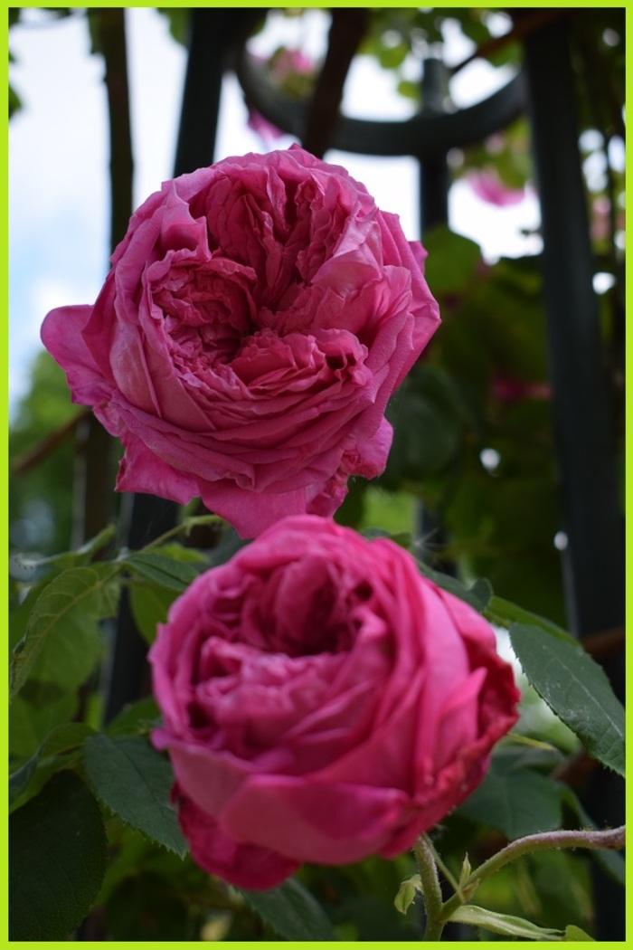 Roseraie du val de Marne de L'Haye Les Roses