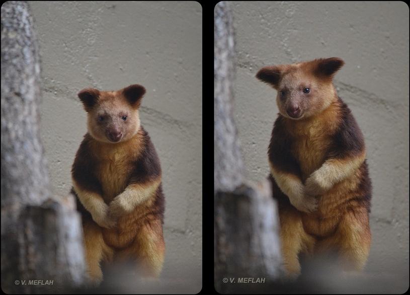 La Ménagerie, Zoo du Jardin des Plantes : Naissance d'un dendrolague de Goodfellow