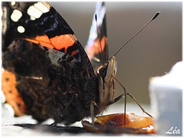 Papillons-6014-vulcain-tete.jpg