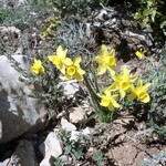 Narcisse d'Asso-Narcissus assoanus-Tuchan Avril 2015