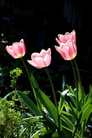Tulipes 2018 : Apricot Delight