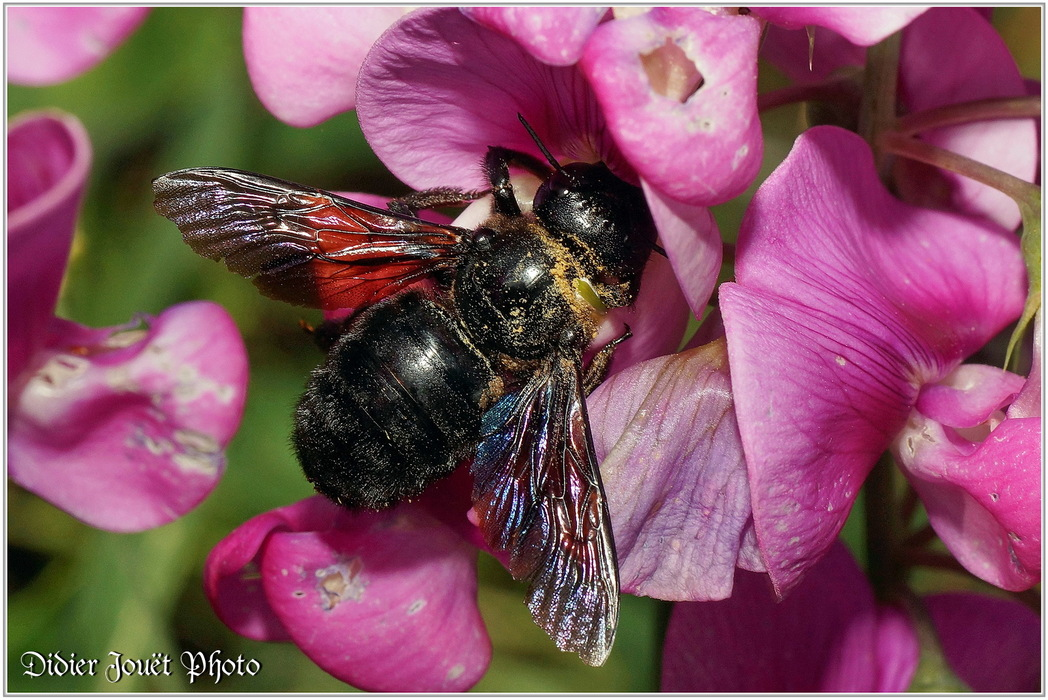 Xylocope Violet - Abeille Charpentière / Xylocopa violacea