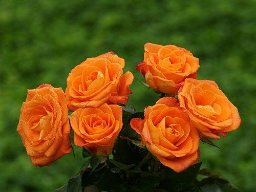 roses_wallpaper-dsc01148.jpg