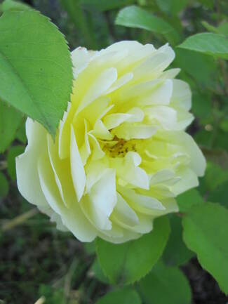 rose jaune ' Graham Thomas ' de David Austin