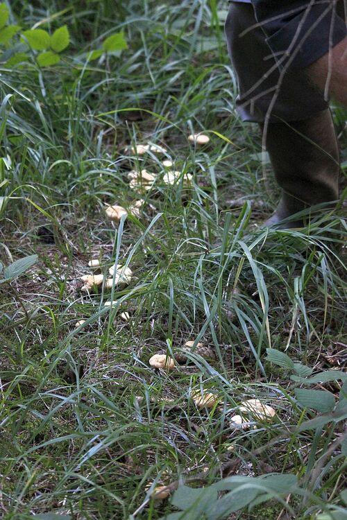 Hydnum repandum - le pied de mouton (excellent comestible)